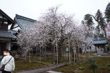 はながたみの桜